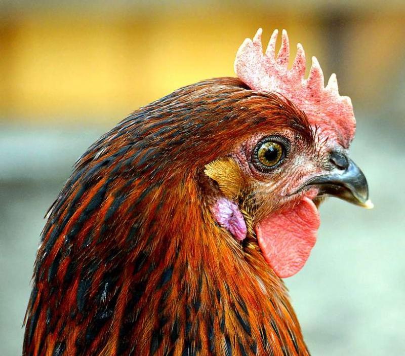 鸡胸肉你了解吗鸡胸肉如何去腥